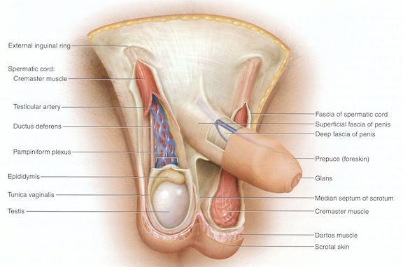Intact penis diagram