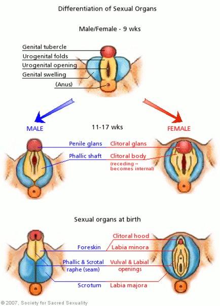 Embryonální genitálie